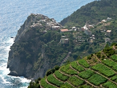 The famous wine terraces of the Cinque Terre
